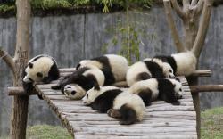 original wallpaper download: Sleeping pandas - 2560x1600