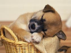 Sleeping Puppy