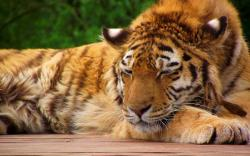 Sleeping Tiger Pictures