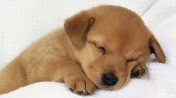 Sleepy dog HD Wallpaper