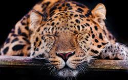Sleepy leopard