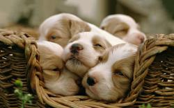 Sleepy puppies
