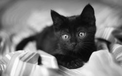 """Download the following Small Black Cat 24165 by clicking the orange button positioned underneath the """"Download Wallpaper"""" section."""