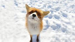 Small Fox in Snow
