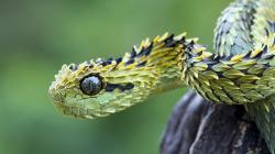 Aris Hispida Viper Poisonous Snake