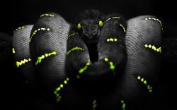 HD Wallpaper   Background ID:151733. 1680x1050 Animal Snake