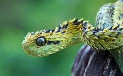 You can easily see why it's named that way but what pictures can't show is just how poisonous this 75 centimeter snake is. Since they live in secluded areas ...