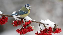 Snow Bird Wallpaper