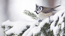 Winter snow birds ravens