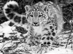 Snowshoes for Snow Leopards