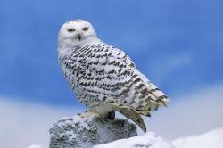 Burrowing Owl »