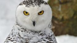 Wallpapers for Gt Snowy Owl Wallpaper Screensavers