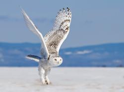 Snowy Owl Flying Wallpaper