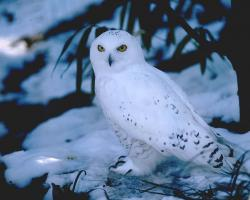 free Snowy Owl wallpaper wallpapers download
