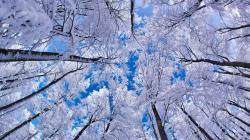 Snowy trees and blue sky ...