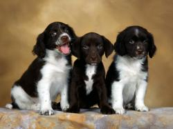 Add photos Three English Springer Spaniel puppies in your blog: