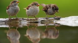 ... sparrow ...