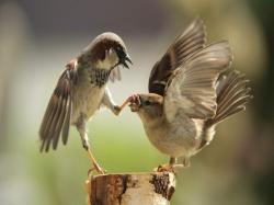 Sparrow HD Wallpaper