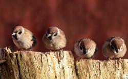 Sparrows Birds Close-Up