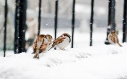 Sparrows Birds Snow