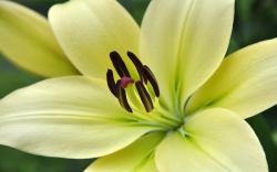 Speciosum lily