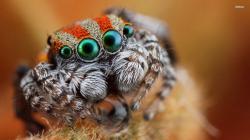 ... Jumping spider close up wallpaper 1920x1080 ...