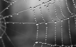Wet spider web wallpaper