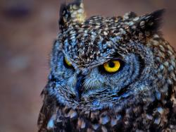 Description: The Wallpaper above is Spotted eagle owl Wallpaper in Resolution 1600x1200. Choose your Resolution and Download Spotted eagle owl Wallpaper
