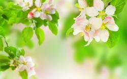 Apple Blossom Wallpaper For Desktop