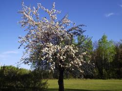 ... Apple Tree in Spring Two by Nerojin