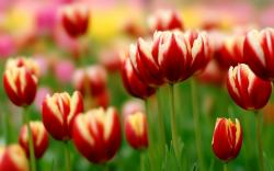 Spring Awesome Flowers Tulips Photo