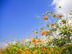 Orange Rose Spring Background