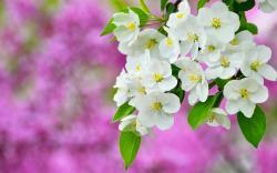 Spring blossom sapling