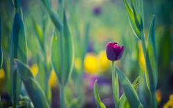 Spring Leaves Flower Tulip Purple