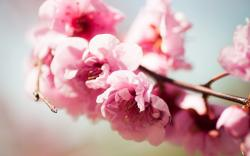 Flowers Pink Branch Spring