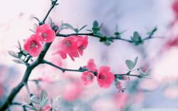 Pink Blossom Flowers Spring Hd Desktop Wallpaper Widescreen 1920x1200px