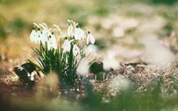 Download by size:Handphone/Tablet/Desktop (Original size). Tags: #Snowdrops #spring · «