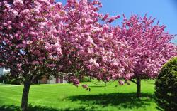 Spring blooming trees