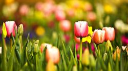 Mac Wallpaper and Multicoloured Spring Tulips Desktop Pc 1920x1080px