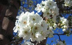White Blossoms I