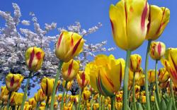 Spring yellow tulips