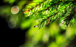 Spruce Tree Dew Drops Water Nature HD Background is a awesome hd photography. Free to upload, share the high definition photos. Spruce Tree Dew Drops Water ...