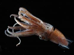 ... Squid Wallpaper ...