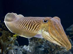 Squid; Squid Pictures ...