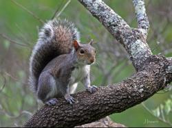 Gray squirrel on a tree branch.