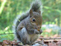 When squirrels sense danger they remain motionless. If on the ground they will run to a nearby tree and climb to safety. If already in a tree they will ...