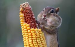 Squirrels Eating Corn