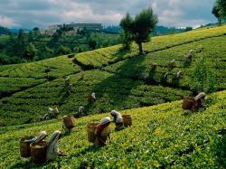 Tea Harvest Sri Lanka