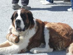 What's in the Barrel Around a Saint Bernard's Neck?