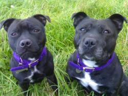 Irish Staffordshire bull terrier pair of dogs